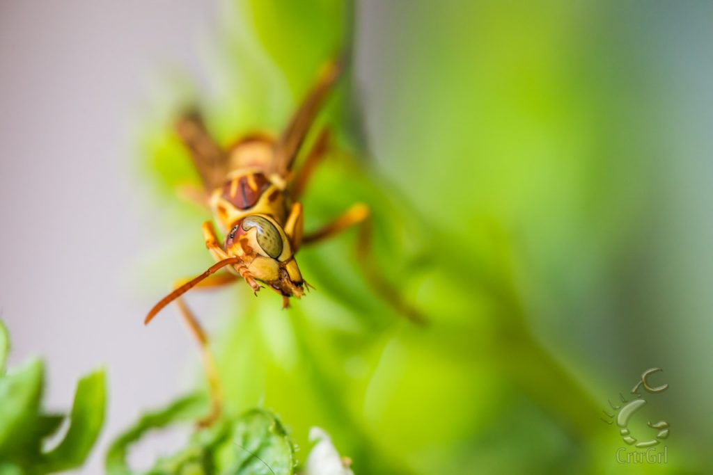 "A Paper Wasp, (Polistes apachus) shows Scott's lense some face while hunting for its prey.  Photo by Scott McGee at <a href=""http://www.underpressurephoto.com/"">Under Pressure Photography</a>"