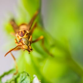 A Paper Wasp, (Polistes apachus) shows Scott some face while hunting for its prey.****A Paper Wasp, (Polistes apachus) shows Scott some face while hunting for its prey.