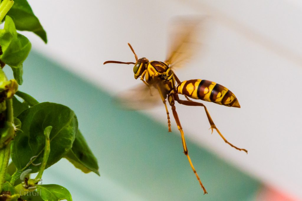 "Paper Wasp Flying  Photo by Scott McGee at <a href=""http://www.underpressurephoto.com/"">Under Pressure Photography</a>"
