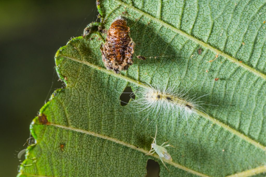 Miridae nymph, Leaf Beetle (Chrysomelidae) pupa and Tussock Moth Caterpillar (Lymantriinae). Photo by Scott McGee at Under Pressure Photography