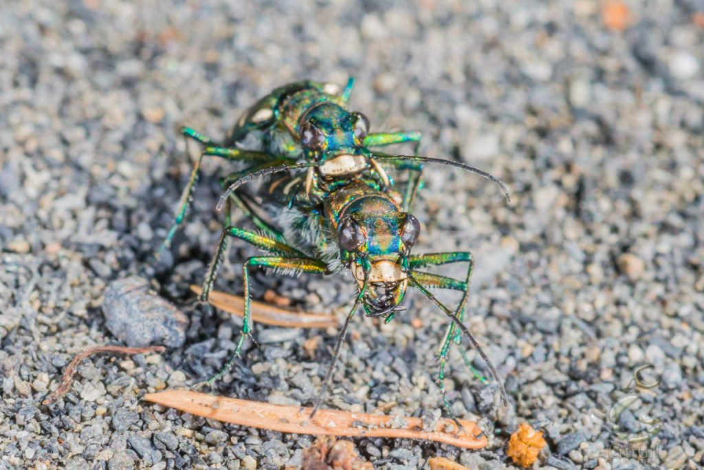 Mating pair of Northern Barrens Tiger Beetle (Cicindela patruela). Photo by Scott McGee at Under Pressure Photography