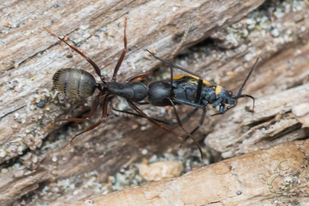 What looks like a Western Carpenter Ant (Camponotus Modoc) that picked up some dinner at 2nd Beach, WA. Photo by Scott McGee at Under Pressure Photography