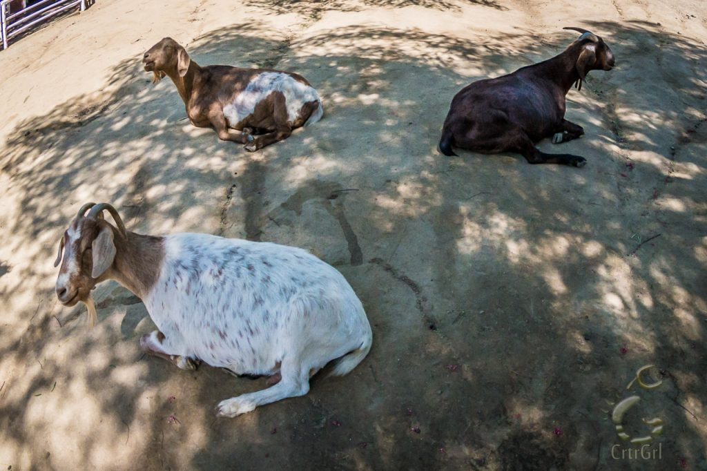Rescued sunbathing goats lliving a cruelty free lifestyle at The Gentle Barn, Santa Clarita CA