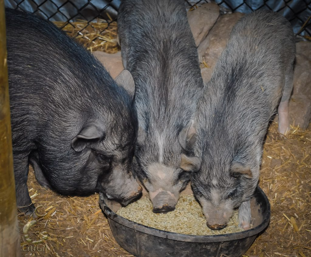 3 piggies I pet sat eating their morning grub