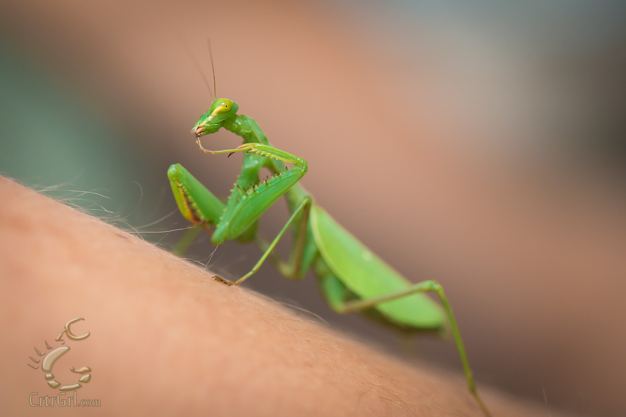 Praying Mantis (order Mantodea) sp?