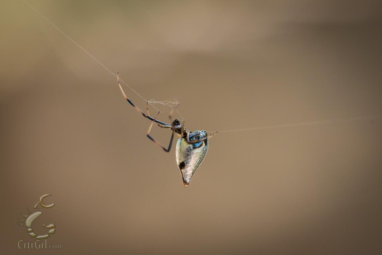 Dewdrop Spider (Argyrodes elevatus)