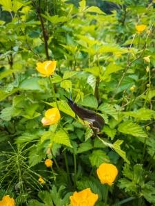 Pacific Banana Slug (Ariolimax Columbianus)