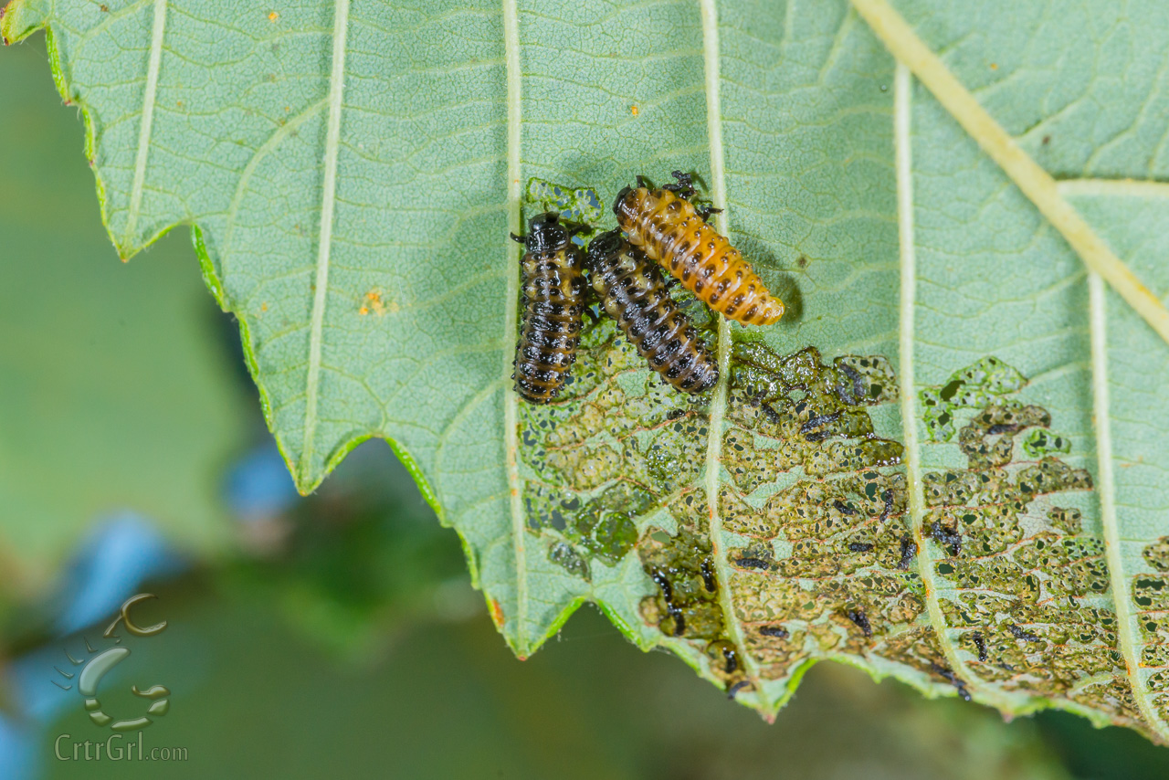 """Leaf Beetle larvae (Chrysomelidae) Photo by Scott McGee at <a href=""""http://www.underpressurephoto.com/"""">Under Pressure Photography</a>"""